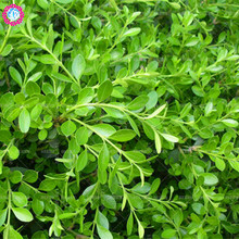 Low price!20 pcs/bag rare boxwood seeds Greening Spherical garden decoration plant bonsai tree potted for home garden planting