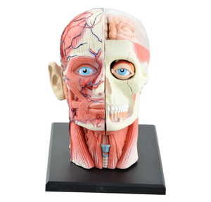 4D Assembled Skeleton Anatomical Model Brain Nasal Oral Pharynx Larynx Cavity Model Anatomia Exploded Skull Education Toys(China)