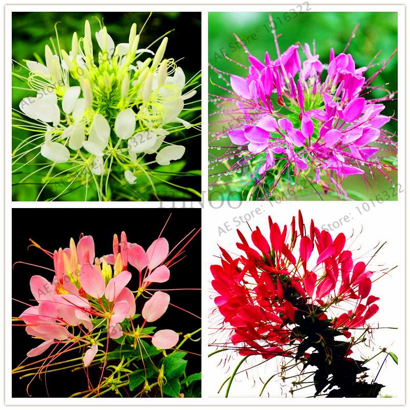 cleome spinosa semillas semillas de flores de jardn planta de los bonsai para exterior