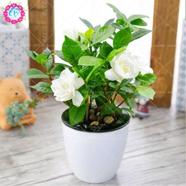 2pcs Gardenia Jasminoides Bulbs Bonsai Flower Very Fragrant Flowers White  Cape Jasmine Fragrant Flower For HOME
