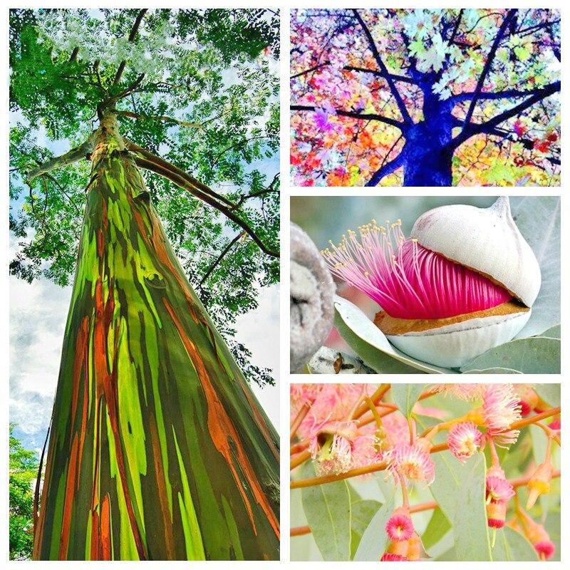 50-eucalipto-Deglupta-rbol-una-bolsa-arco-iris-rbol-gigante-cucaracha-repelente-al-Color-de-la(1)