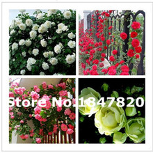100pcs Chinese Red Pink green White Rose Seeds each color Bonsai plants Seeds for home & garden