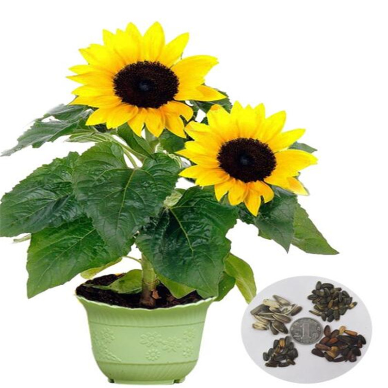 51 Gambar Bunga Matahari Dan Pot Paling Hist Gambar Pixabay