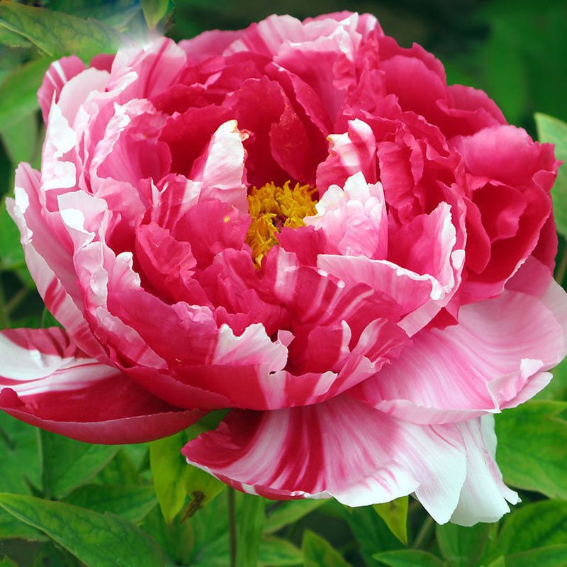 Rare Pink And Red Double Color Peony Flower Seeds Potted Flowers Bonsai Plant For Home