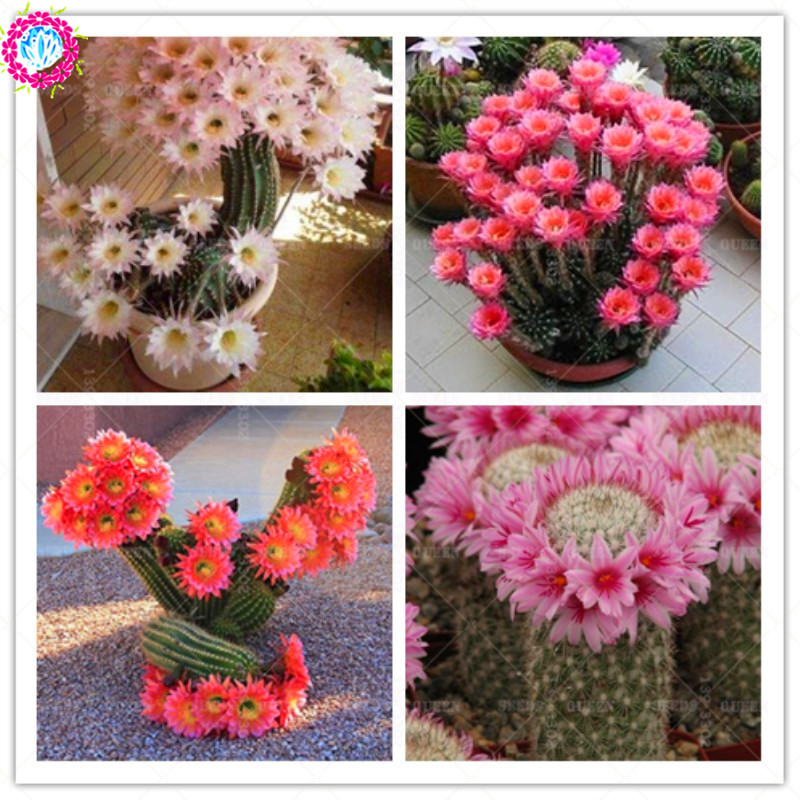 100 Pcs Rare Cactus Flower Japanese Heirloom Succulents Plant Potted Natural Growth Bonsai Plants For Home Garden Supplies