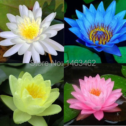 1 pack 10pcs chinese family special plants seeds lotus flower seeds 1 pack 10pcs chinese family special plants seeds lotus flower seeds in bonsai from home garden on aliexpress alibaba group mightylinksfo