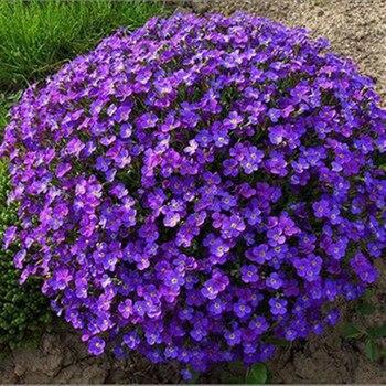 20 Seed/pack Violet Queen Flower Seeds,violet seeds garden Горянка