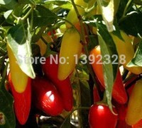 NEW! 100pcs 100% Organic Jalapeno Numex Pinata Pepper Seeds vegetables seeds