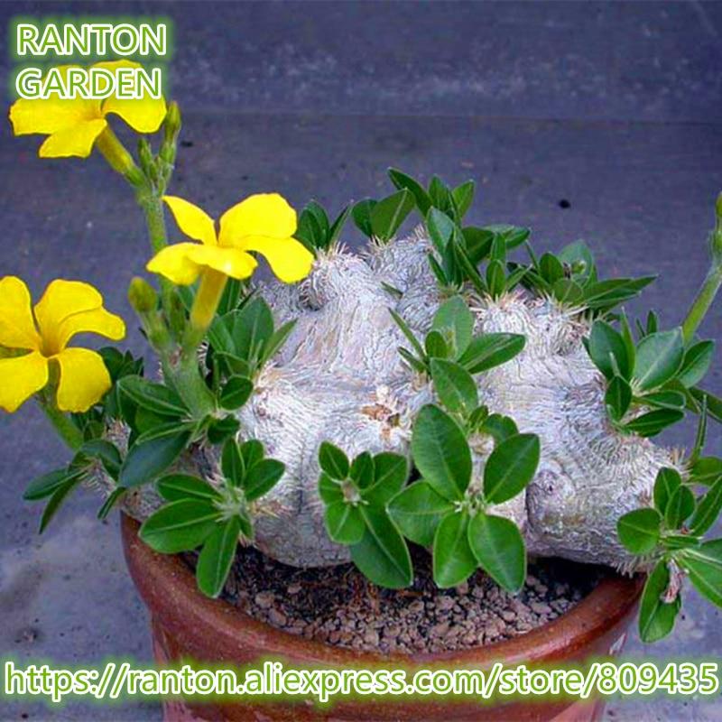 RANTON GARDEN Rare succulent seeds Pachypodium brevicaule Seeds Quality Apocynaceae family bonsai flower roots seeds