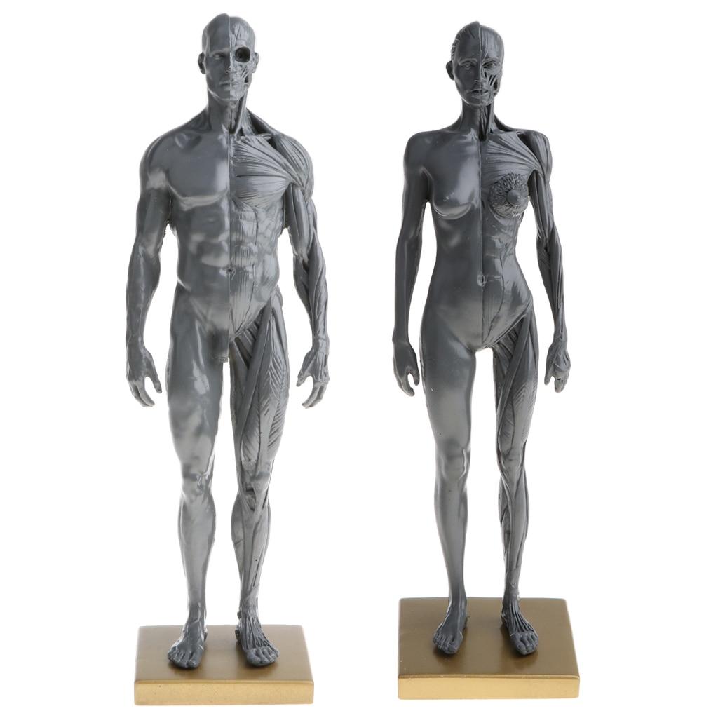 Dental 60 Cm Male Male Figure Art Pro V2a Anatomical Model Of