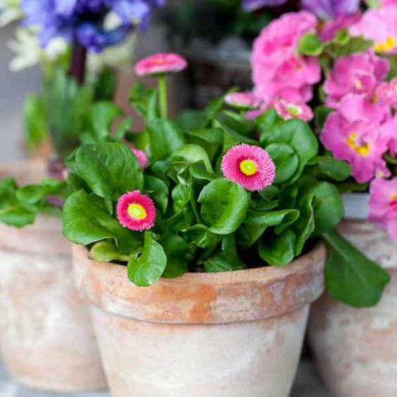400 pink english daisy bellis seeds of garden flowers perennial cut flowers diy home plant - English Garden Flowers