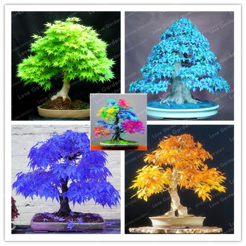 Rare Blue Maple plant Bonsai Tree Plants Pot Suit for DIY Home Garden Japanese Beautiful Multicolor Maple Bonsai 20 Pcs