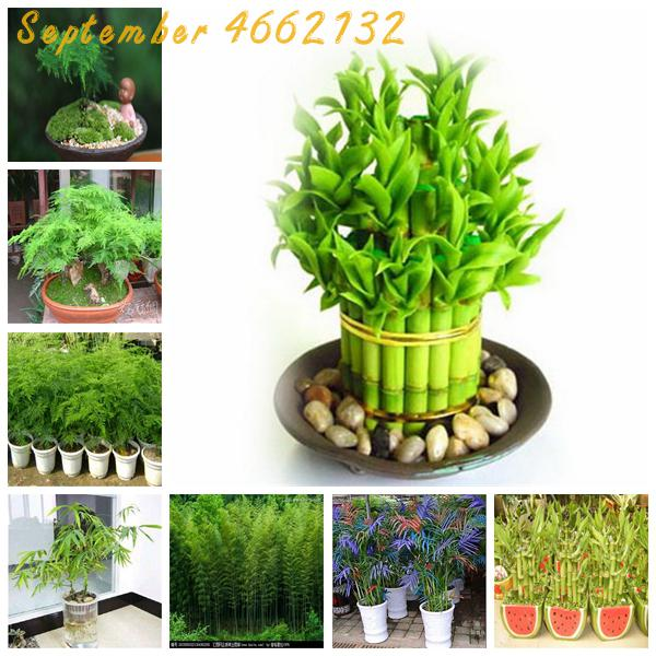The New 2019! 50PCS Asparagus Fern,Asparagus Setaceus, Lucky Bamboo Choose Potted Bonsai Variety Complete Giant Moso Bamboo
