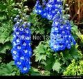 100 редких Цветов Smurfs ларкспер, Smurfs семена larkspur, цветы семена
