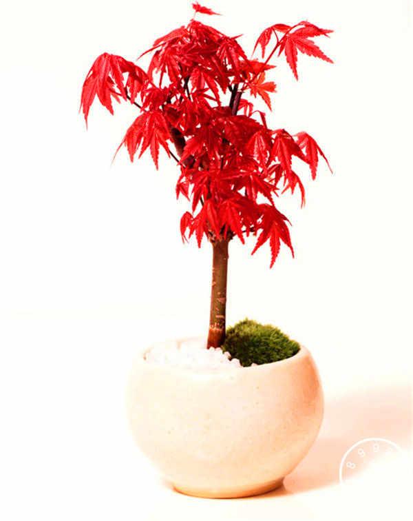 50 كندا البسيطة الأحمر القيقب بونساي حديقة DIY بونساي القيقب شجرة مصنع ، # WC9TON