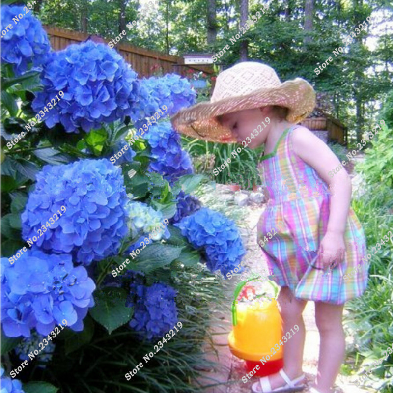 Hortensias maceta compra lotes baratos de hortensias - Semillas de hortensias ...