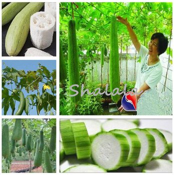 100 Pcs Rare Long Luffa Cylindrica Bonsai Oversized Towel Gourd Garden Potted Loofah Sponge Cucumber Balcony Organic Vegetable
