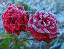 50pcs Holland Ice Rose Seeds Red Double Flap Climbing Flower Seeds Courtyard Bonsai Plants Potted for Home Garden Fast shipping