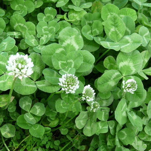 New Arrival Home Garden Plant Trifolium Repens White Dutch Clover