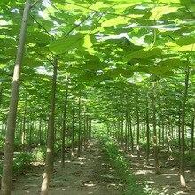 500pcs 100% High Quality paulownia elongata New forest tree bonsais,200pcs/pack fast growing Bonsai Plant for Home garden