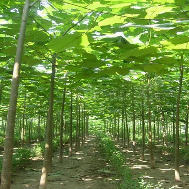 Paulownia Elongata Seeds for Garden