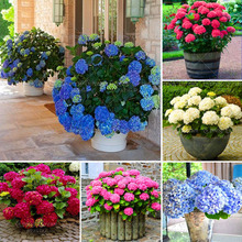 20 Pcs/Bag Bonsai Hydrangea Plant Balcony Courtyard Perennial Flower China Potted Planting Home Garden