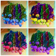 2017 Best Selling Rare Succulents Seeds Cactus Garden Flower Seeds Rainbow  Purple Cactus Onion