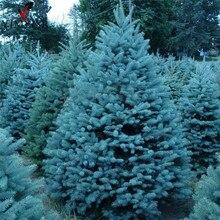 Buy  seeds ornamental christmas tree10seeds/bag  online