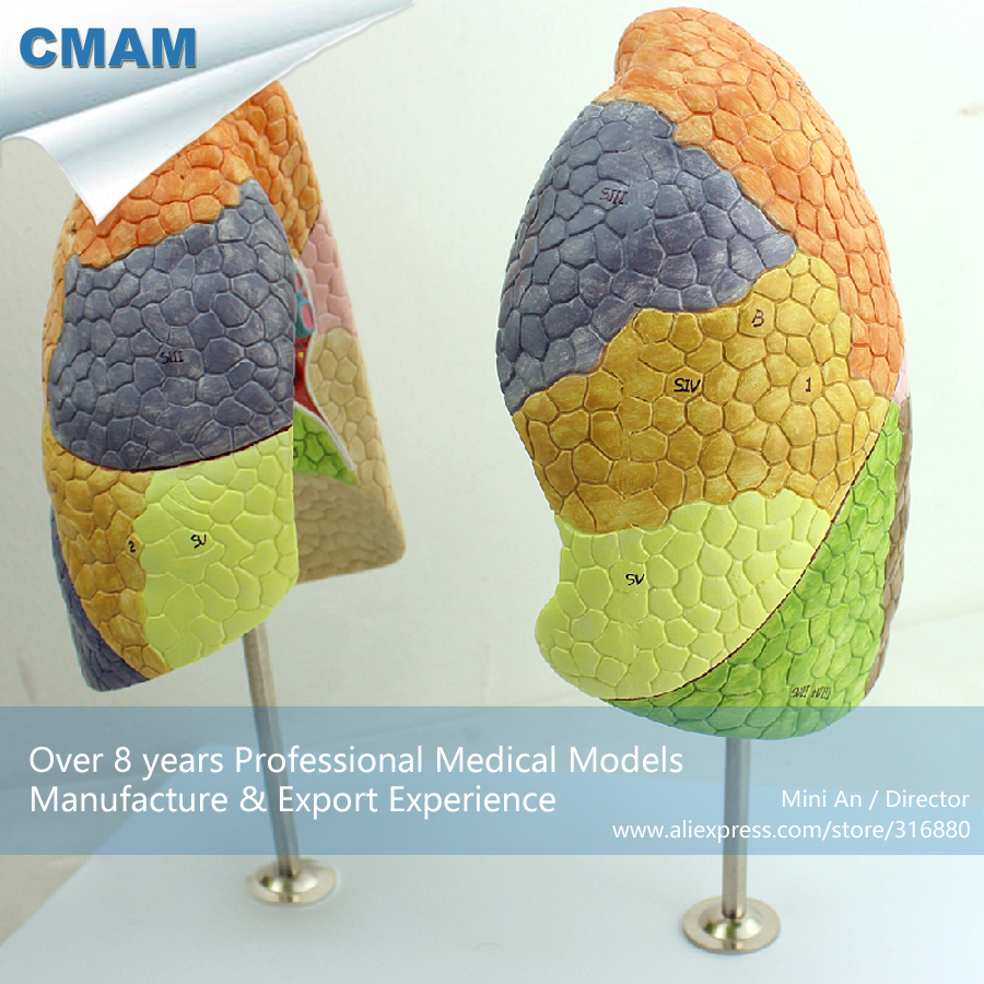 12500 CMAM-LUNG03 Life Size Segmental Lungs Anatomy Model, Medical Science Educational Teaching Anatomical Models 1 2 life size knee joint anatomical model skeleton human medical anatomy for medical science teaching