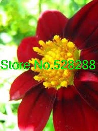 achetez en gros rouge dahlia en ligne à des grossistes rouge