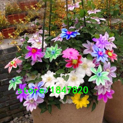 Hot Selling Rare Color Clematis Seeds 100PCS Flower Seeds Bonsai Seeds DIY Home Garden Pot Plant Free Shipping