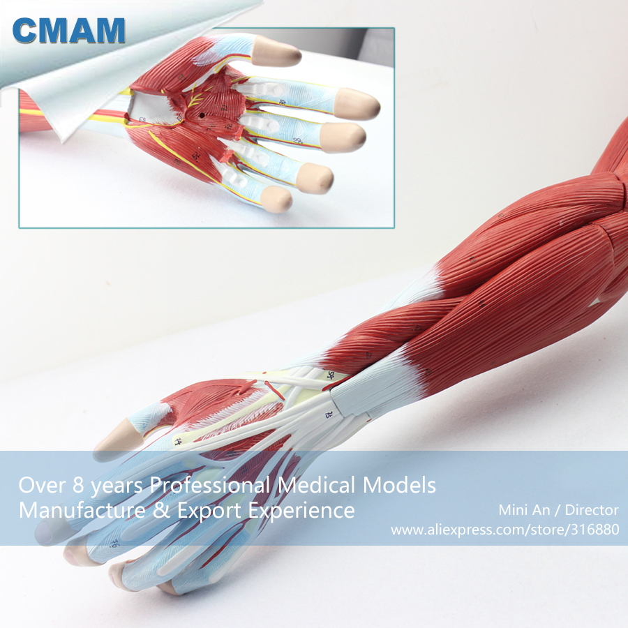 12025 CMAM-MUSCLE03 Anatomical Vascular Never Model of Upper Limb Muscle , Medical Science Educational Anatomical Models cmam muscle16 deep anatomical structure model of human neck medical science educational teaching anatomical models