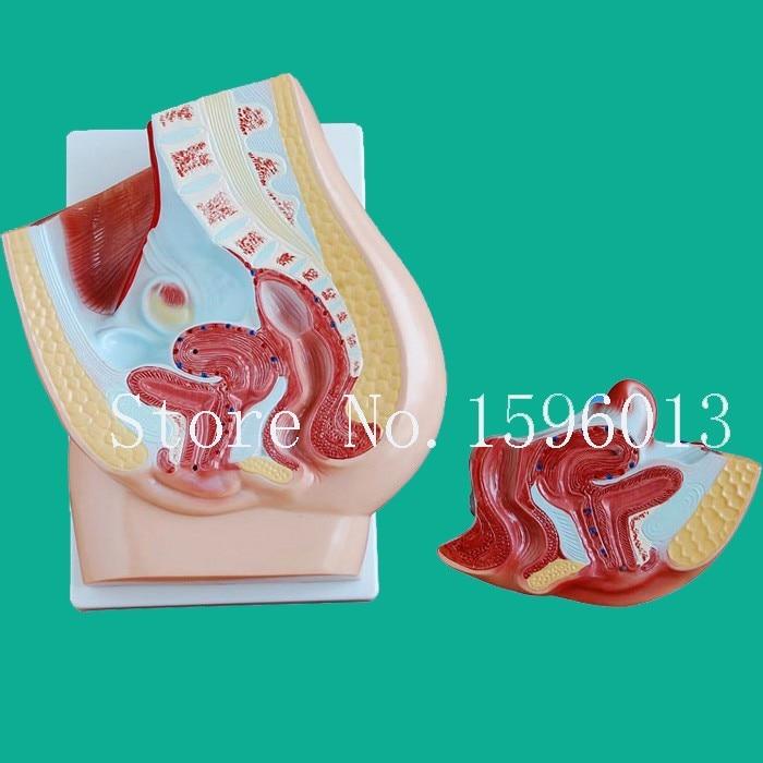 Средний раздел женская модель таза, анатомия женская модель таза