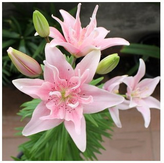 """/""""Heart Stings/"""" Asiatic Lily Bulbs Beautiful Flowers Wholesale Home Garden Plant"""