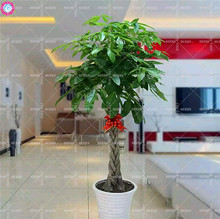 1pcs pachira macrocarpa seeds Indoor bonsai tree seeds Money tree perennial plants for home decor supplies 100% germination rate