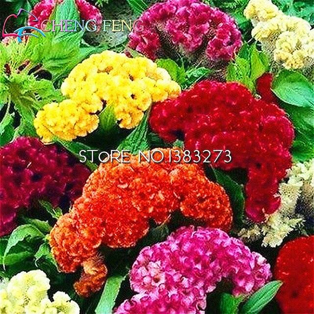 Hahnenkamm Bonsai 100 Partikeltasche Mischen Diy Home Garten Blume