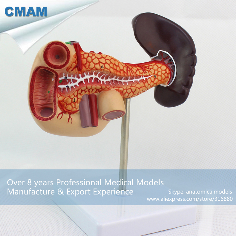 12543 CMAM-VISCERA06 Medical Science Human Pancreas with Spleen and Duodenum Model 12338 cmam pelvis01 anatomical human pelvis model with lumbar vertebrae femur medical science educational teaching models