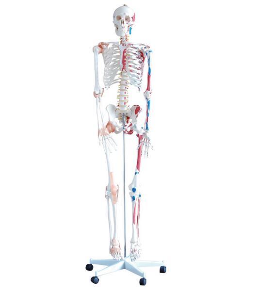 Human skeleton model Skeleton Human skeleton Bone specimens Teaching model 170 cm Skeleton model GASENHN 003