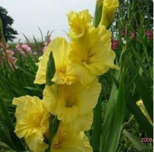 Gladiolus Flower Seeds, 100pcs/pack