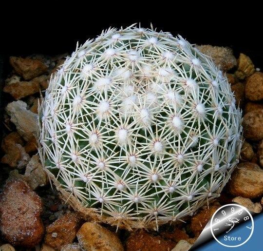Sale!100 Pieces/pack Ball Cactus Garden Rare Succulent Plant Plantas Bonsai Celestial Flower Pot Planters Flores,#XWNJWN