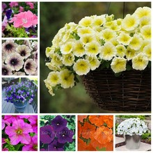 Promotion!100 PCS Hanging Petunia Plants Melissa Original Flower Planta Perennial Flowers For Home Garden Bonsai Pot Planting(China)
