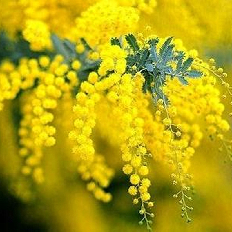aliexpress com   buy marseed 20 pcs golden mimosa acacia baileyana yellow wattle tree bonsai