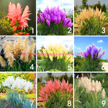 1000pcs Pampas Grass Pampas seeds Ornamental Plant Flower seeds cortaderia selloana Seeds for home garden plants