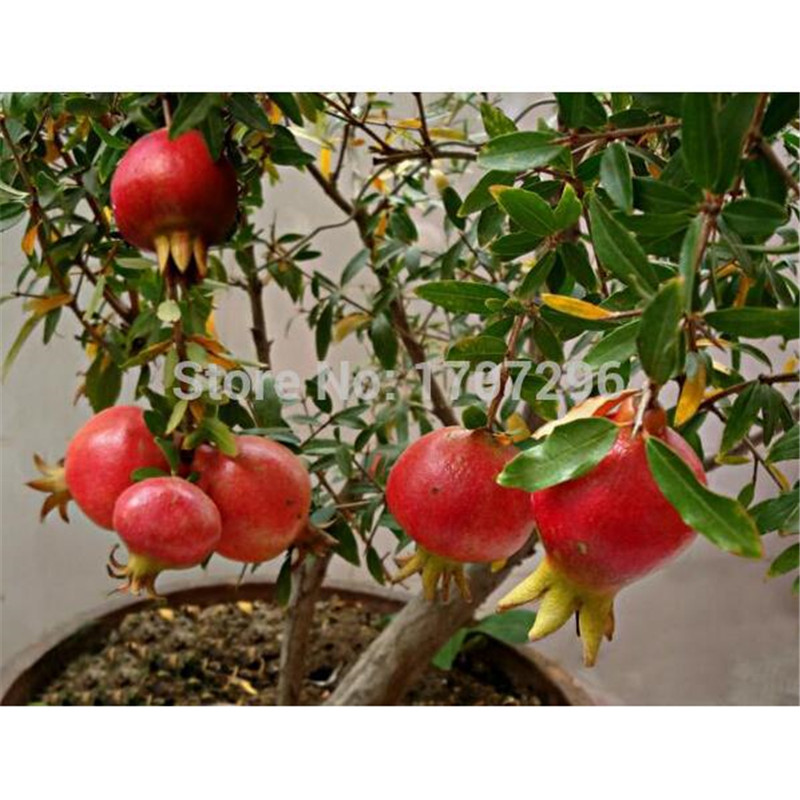 compare prices on seeds of pomegranate tree online shopping/buy, Natural flower