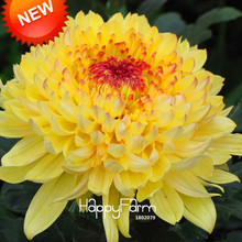 New Seeds 2017!Fireworks Shape Orange Chrysanthemum Flower Seeds Softcover Bonsai Balcony 100 Particles / lot,#U7T6DC