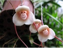 Flower Pots Planters Beautiful Monkey Face Orchids Seeds Multiple Varieties Bonsai Plants Seeds For Home & Garden 20 Seeds(China)