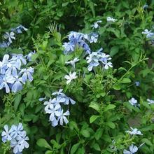 Кивнув мухоловка подснежник 20 шт. 'snowdrops' весна / осень посева обильные цветы карлик