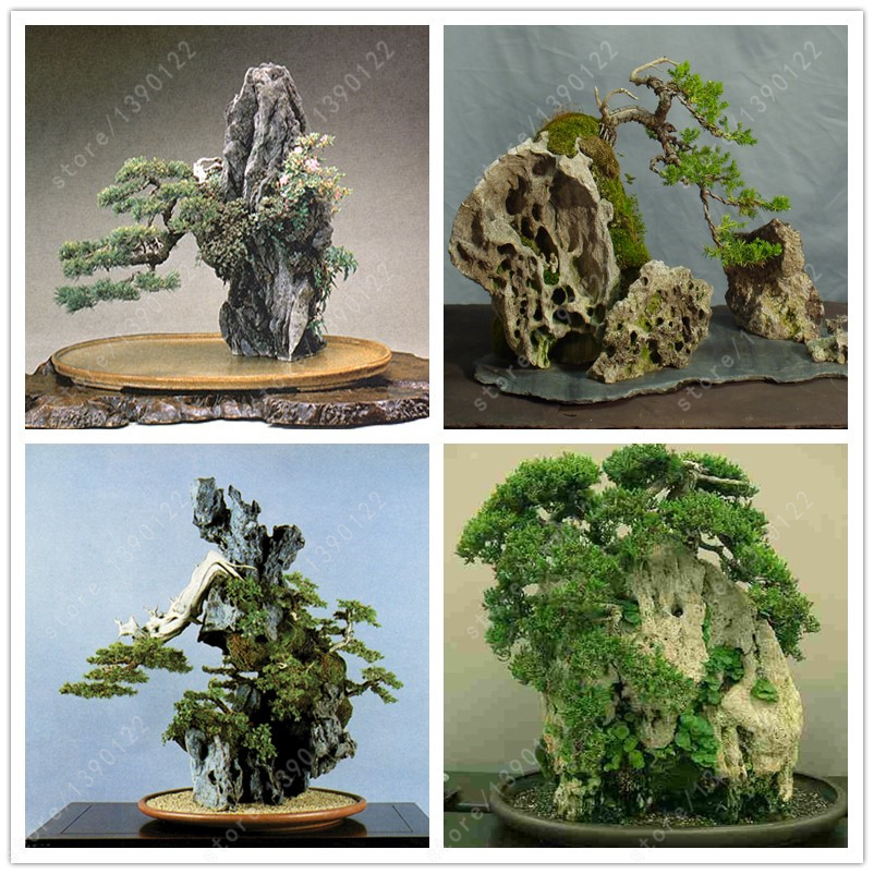 50 seeds bag rock bonsai bonsai tree bonsai seeds indoor for Tree decorations for garden