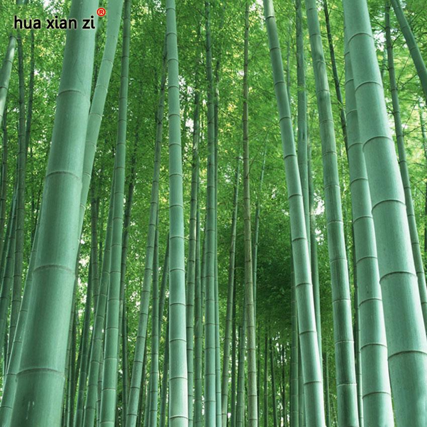 fresco gigante de bamb moso semillas para el jardn de diy