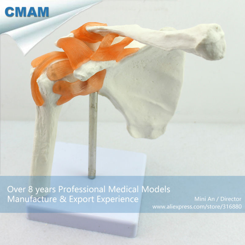 12354 CMAM-JOINT07 Hospital Use Professional Medical Anatomical Shoulder Models 12471 cmam anatomy33 male reproductive system study model medical science educational teaching anatomical models